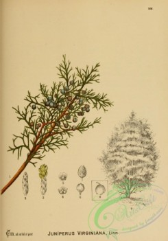 conifer-00124 - juniperus virginiana [2141x3062]