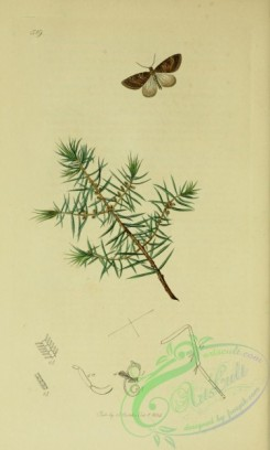 conifer-00132 - 519-Juniper Tree, juniperus communis [2099x3495]