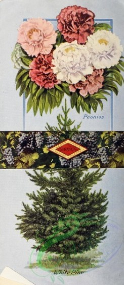 conifer-00144 - 027-Flowes, peonies, White Pine [1473x3369]