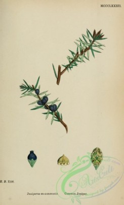 conifer-00146 - Common Juniper, juniperus eu-communis [1645x2706]