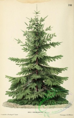 conifer-00149 - Nordmann Fir or Caucasian Fir, abies nordmanniana [1975x3115]