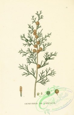 conifer-00153 - juniperus phoenicea [3316x5146]