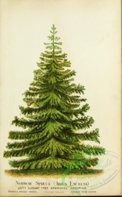 conifer-00168 - Norway Spruce, abies excelsa [2683x4324]