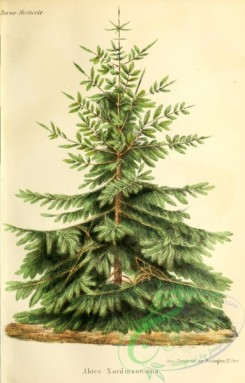 conifer-00174 - Nordmann Fir or Caucasian Fir, abies nordmanniana [2974x4640]