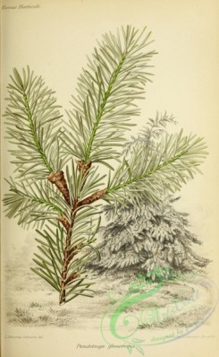 conifer-00175 - pseudotsuga glaucescens [3011x4893]