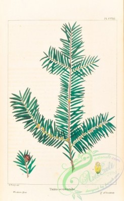 conifer-00179 - Western Yew, taxus occidentalis [3294x5324]