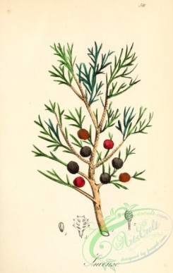 conifer-00180 - juniperus lycia [2065x3258]