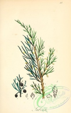 conifer-00181 - juniperus sabina [2065x3258]