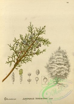 conifer-00183 - juniperus virginiana [2785x3927]