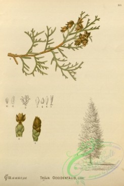conifer-00184 - thuja occidentalis [2628x3927]