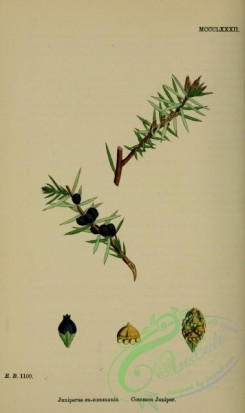 conifer-00188 - Common Juniper, juniperus eu-communis [2225x3740]