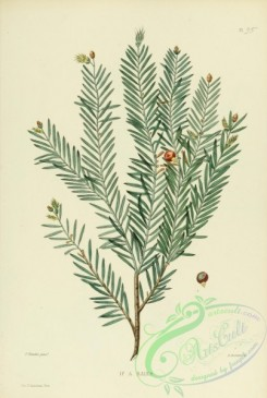 conifer-00191 - taxus baccata [2135x3176]