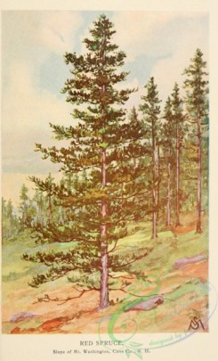 conifer-00207 - Red Spruce [2084x3437]