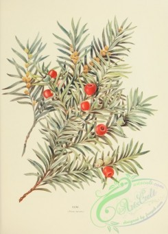 conifer-00208 - Yew, taxus baccata [2374x3304]