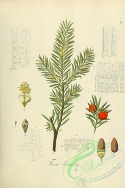 conifer-00211 - taxus baccata [2184x3271]