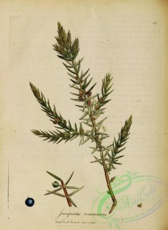 conifer-00222 - juniperus communis [2680x3656]