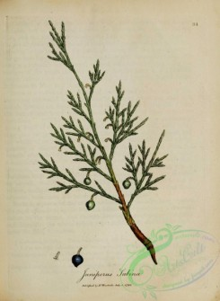 conifer-00223 - juniperus sabina [2680x3656]