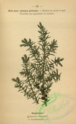 conifer-00225 - juniperus communis [1462x2352]