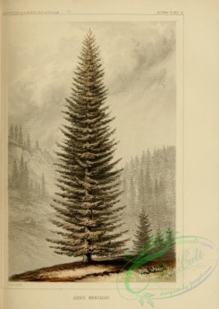 conifer-00227 - abies menziesii [2255x3173]
