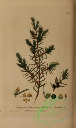 conifer-00248 - Common Juniper, juniperus communis [1682x2818]