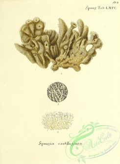 corals-00371 - 104-spongia cartilaginea