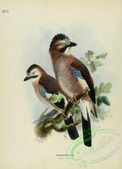 corvidae-00055 - BLACKHEADED JAY