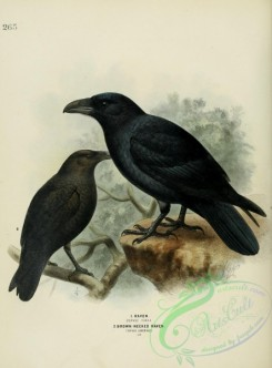 corvidae-00061 - RAVEN, BROWN-NECKED RAVEN