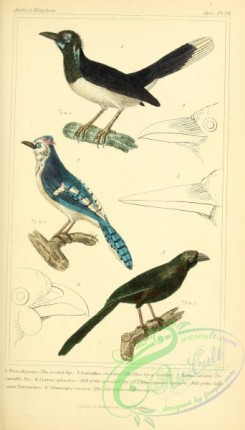 corvidae-00173 - Crested Jay, Blue Jay of Catesby, Variable Pie, Ash-coloured Glaucopis