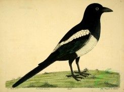 corvidae-00195 - Magpie or Pianet