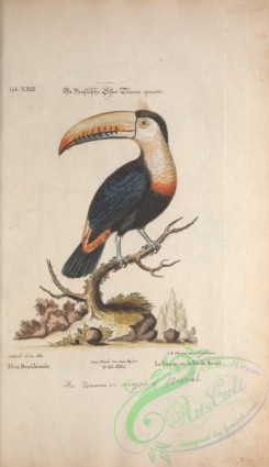 corvidae-00239 - Toucan or Magpie of Brazil