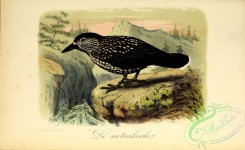 corvidae-00245 - Spotted Nutcracker, or Eurasian Nutcracker, or Nutcracker