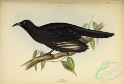 corvidae-00299 - White-winged Chough