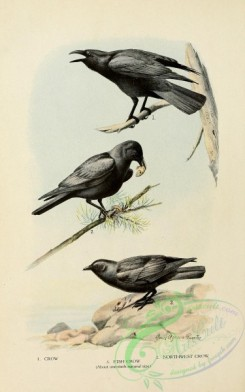 corvidae-00340 - Crow, Fish Crow, Northwest Crow