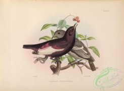 cotinga-00016 - White-winged Cotinga