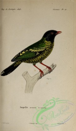 cotinga-00020 - Barred Fruiteater