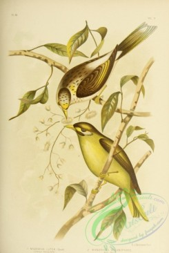 cotinga-00022 - Luteous Honey-eater, Bell Bird