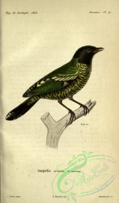 cotinga-00024 - Barred Fruiteater