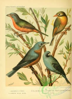 cotinga-00032 - Nonpareil Finch, Common Blue Bird, Yellow Bellied Liothrix or Pekin Nightingale, Indigo Bird