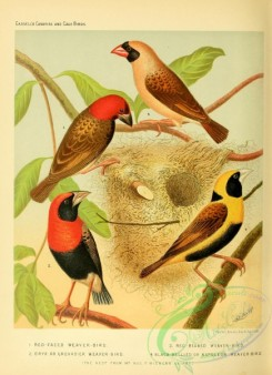 cotinga-00033 - Red-faced Weaver-bird, Oryx or Greandier Weaver-bird, Red-beaked Weaver-bird, Black-bellied or Napoleon Weaver-bird