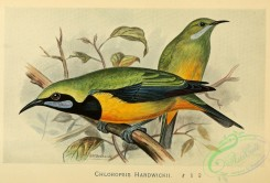 cotinga-00034 - Orange-bellied Leafbird, chloropsis hardwickii