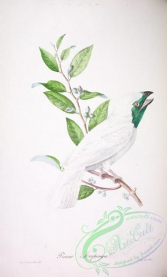cotinga-00046 - Bare-throated Bellbird
