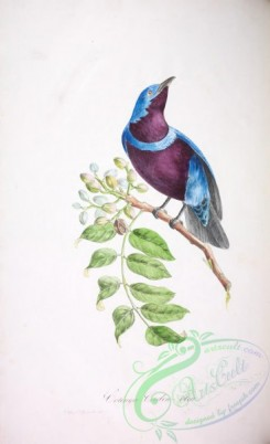 cotinga-00048 - Purple-breasted Cotinga
