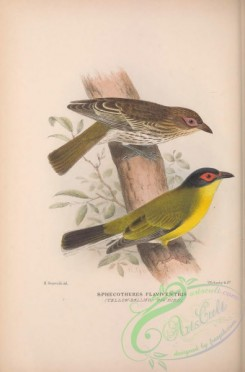 cotinga-00052 - 021-Yellow-bellied Fig-bird, sphecotheres flaviventris