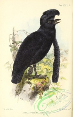 cotinga-00053 - Long-wattled Umbrellabird, cephalopterus penduliger