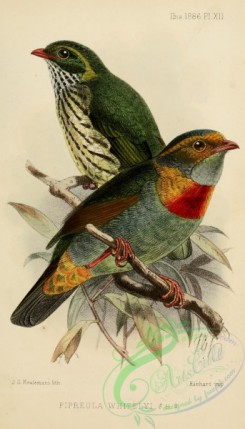 cotinga-00058 - Red-banded Fruiteater, pipreola whitelyi