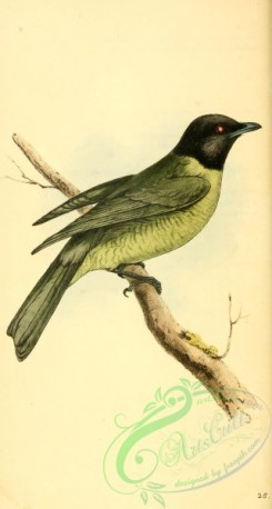 cotinga-00065 - Black-headed Berryeater, procnias melanocephalus