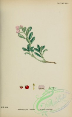 cranberry-00003 - Common Bearberry, arctostaphylos uva-ursi