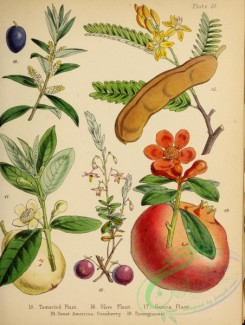 cranberry-00005 - Tamarind Plant, Olive Plant, Guava Plant, Great American Cranberry, Pomegranate