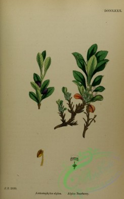 cranberry-00008 - Alpine Bearberry, arctostaphylos alpina