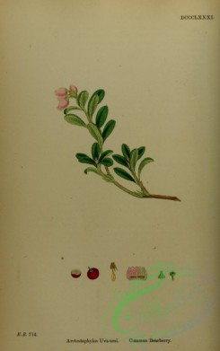 cranberry-00009 - Common Bearberry, arctostaphylos uva-ursi